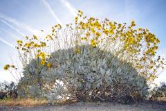 Spring Brittle Bush