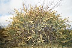 Four-wing saltbush