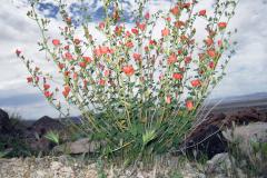 Spring Desert Mallow Bush