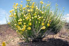 Spring Desert Goldenhead