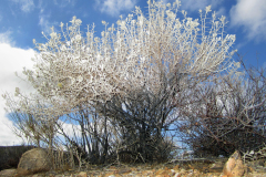 Mojave cottonthorn