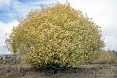 Snakeweed
