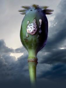 poppyhead2_1
