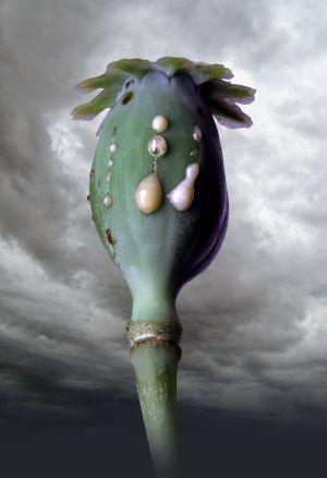 Poppyhead No.1
