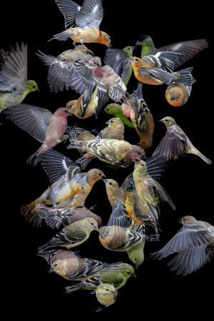 Finches No. 1