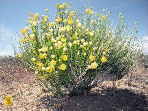 Spring Desert Goldenhead Bush