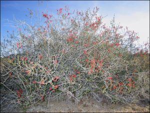 Spring Chuparosa Bush