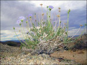 Spring Mojave Aster Bush