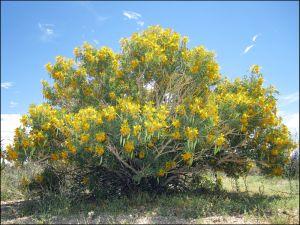 Spring Bladderpod Bush
