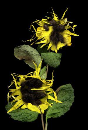 Florescence No.15