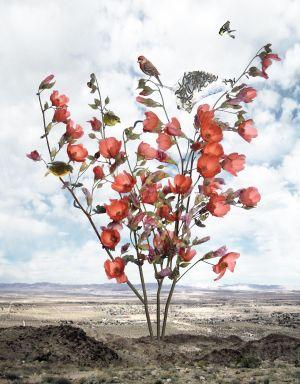 Spring Desert Mallow